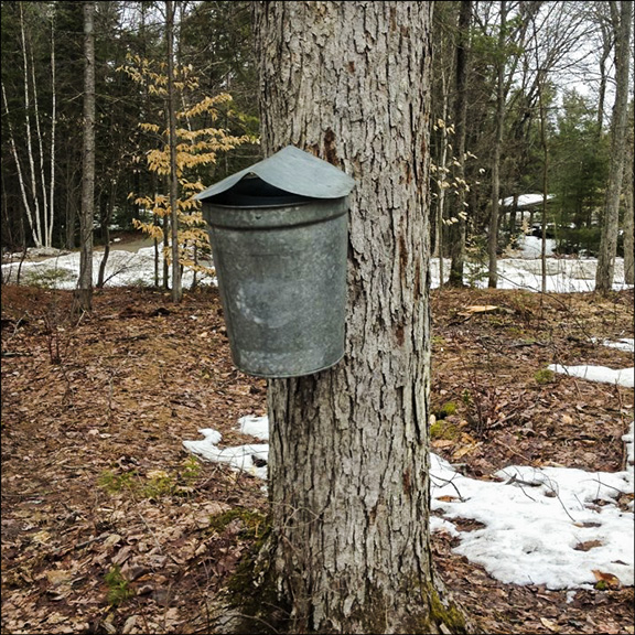 Trees of the Adirondack Mountains: Sap Bucket on Sugar Maple at the Paul Smiths VIC