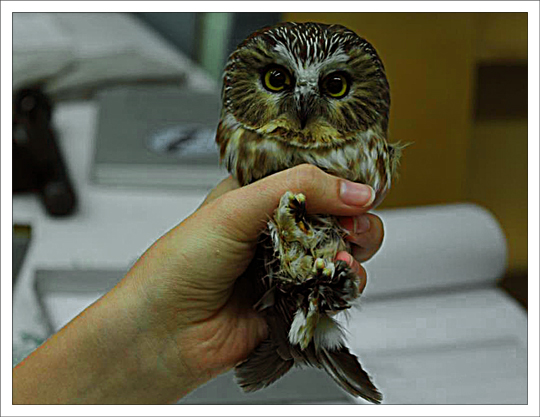 Northern Saw-whet Owl Banding Program at the Paul Smiths VIC (Fall 2012)