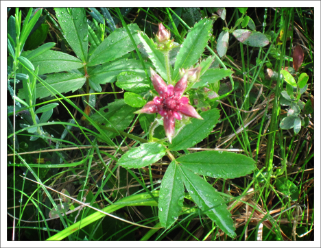 Adirondack Wildflowers:  Marsh Cinquefoil blooming in Barnum Bog (30  June 2010)