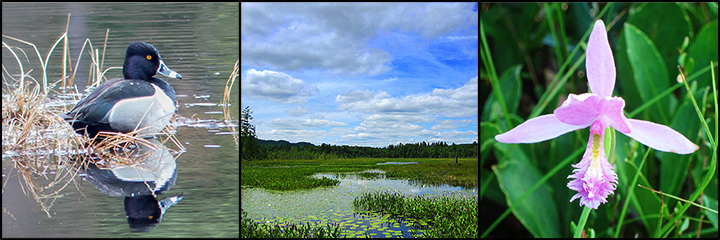 Exploring the Adirondack Mountains: Ring-necked Duck on Heron Marsh; Heron Marsh in summer: Rose Pogonia on Barnum Bog