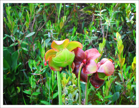 Adirondack Wildflowers:  Pitcher Plant in bloom at the Paul Smiths VIC (13 July 2011)