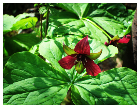 Adirondack Wildflowers:  Purple Trillium (Trillium erectum) in bloom at the Paul Smiths VIC (16 May 2012)