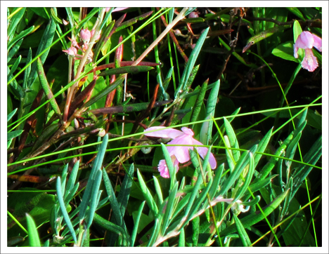 Adirondack Wildflowers:  Rose Pogonia blooming on the Barnum Bog at the Paul Smiths VIC (13 July 2011)