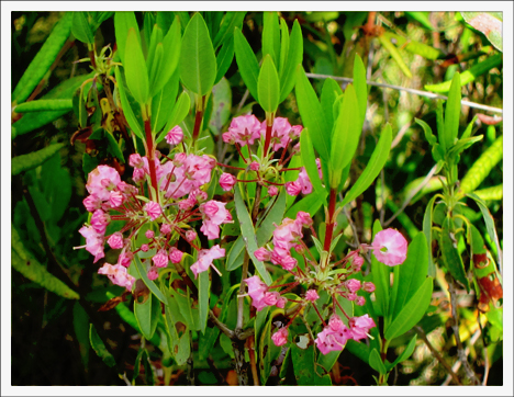 Adirondack Wildflowers:  Sheep Laurel blooming on Barnum Bog at the Paul Smiths VIC (16 June 2012)