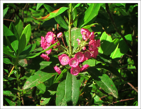 Adirondack Wildflowers:  Sheep Laurel blooming in Barnum Bog at the Paul Smiths VIC (2 July 2011)