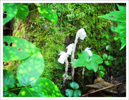 Adirondack Wildflowers:  Indian Pipe on the Boreal Life Trail at the Paul Smith's College Visitor Interpretive Center (30 July 2011)