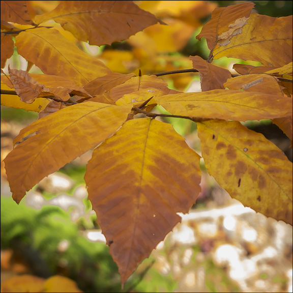 Trees of the Adirondacks: The leaves of American Beech trees turn yellowish to reddish brownn in the fall. (13 October 2013)