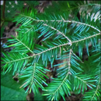 Trees of the Adirondacks: Balsam Fir (12 July 2012)