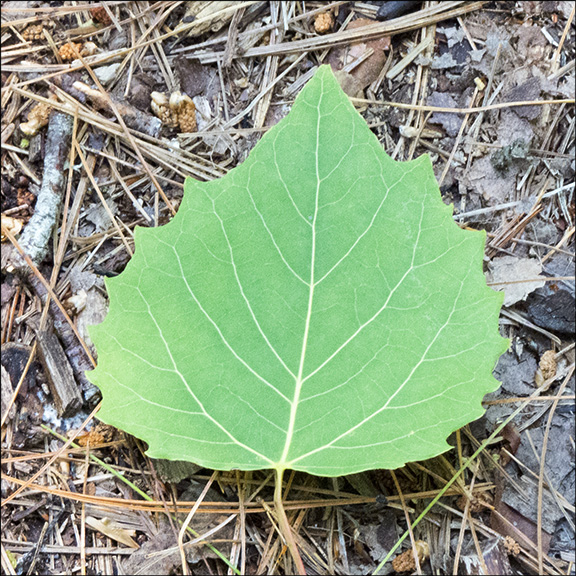Bigtooth Aspen leaves have large, rounded teeth. Bigtooth Aspen on the Bobcat Trail (11 July 2015)