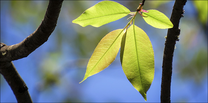 Trees of the Adirondacks: Black Cherry leaves are elliptical and finely toothed. Black Cherry on the Jenkins Mountain Trail (17 May 2015)