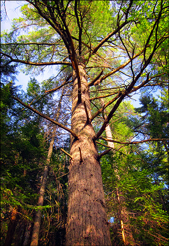 Trees of the Adirondack Park: Eastern White Pine on the Heron Marsh Trail
