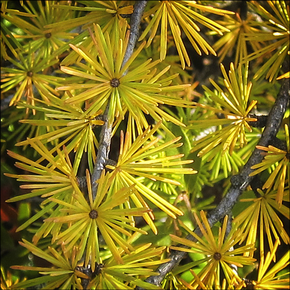 Trees of the Adirondacks: Tamarack Needles in fall. Tamarack on Barnum Bog at the Paul Smiths VIC (22 September 2012)