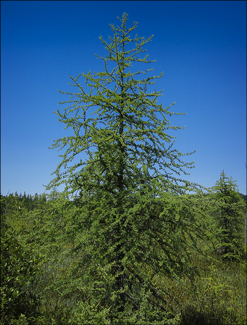 Trees of the Adirondack Mountains: Tamarack (American Larch) on Barnum Bog at the Paul Smiths VIC (12 July 2012)