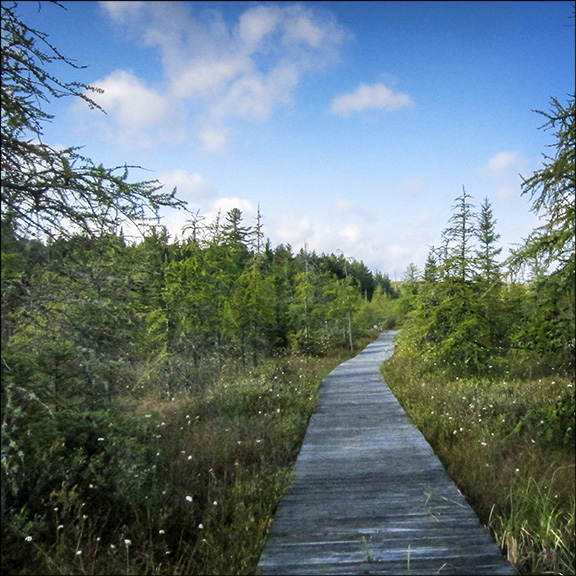 Trees of the Adirondacks: Tamaracks on the Boreal Life Trail boardwalk at the Paul Smiths VIC (22 September 2012)