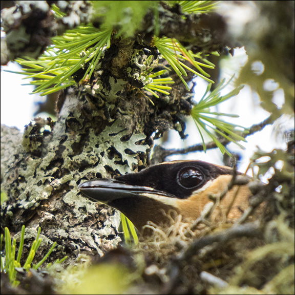 Trees of the Adirondacks: Cedar Waxwing nesting on a Tamarack on Barnum Bog at the Paul Smiths VIC (19 July 2014)