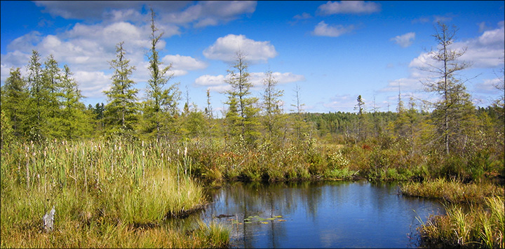 Trees of the Adirondacks: Tamaracks on Heron Marsh.  From the Heron Marsh Trail boardwalk (19 September 2004)