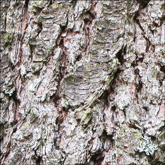 Trees of the Adirondacks:  Bark of the Eastern White Pine (28 July 2012)