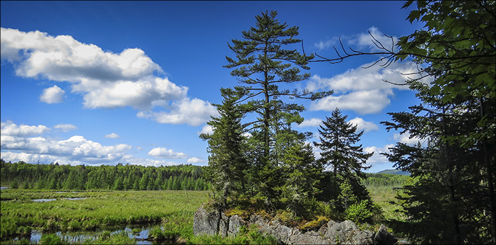 Trees of the Adirondacks: Eastern White Pine growing on a rock island in Heron Marsh.  From the Barnum Brook Trail overlook (31 May 2014)