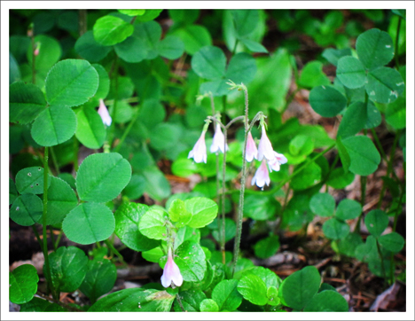 Adirondack Wildflowers:  Twinflower blooming on the Barnum Brook Trail at the Paul Smiths VIC (9 June 2012)