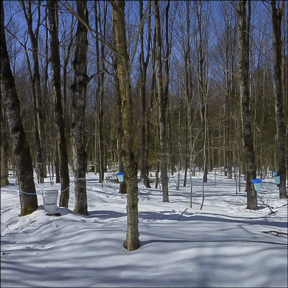 Trees of the Adirondacks:  Sugar Maples in the VIC Sugar Bush. Photo by Tom Boothe.  Used by permission.