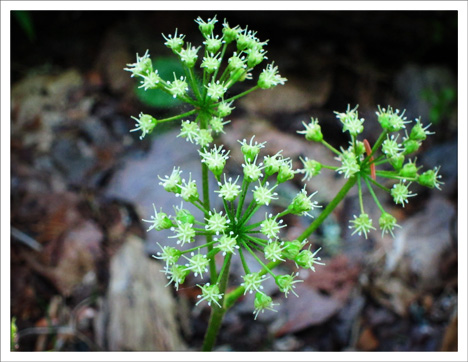 Adirondack Wildflowers:  Wild Sarsaparilla in bloom at the Paul Smiths VIC (26 May 2012)