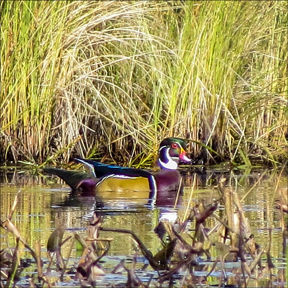 Birds of the Adirondack Mountains: Male Wood Duck on Heron Marsh at the Paul Smiths VIC (24 September 2014)