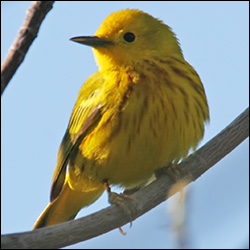 Boreal Birds of the Adirondacks:  Yellow Warbler.  Photo by Larry Master. www.masterimages.org