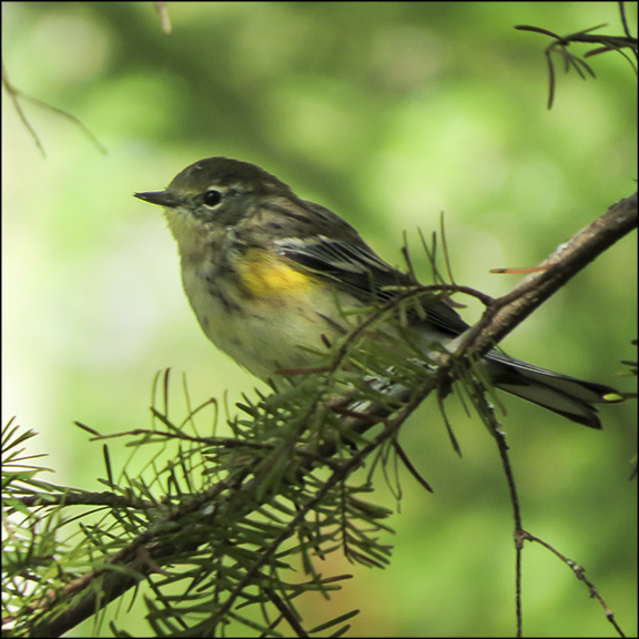 Birds of the Adirondacks: Yellow-rumped Warbler near the first overlook on the Bancum Brook Trail (17 September 2014)