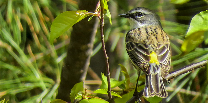 Adirondack Birding: Yellow-rumped Warbler near the VIC parking lot (17 May 2015)